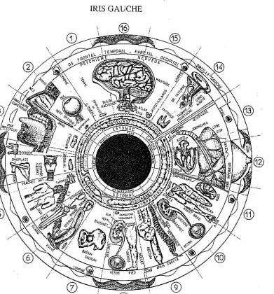 organes liés à l'oeil gauche